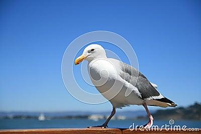 Walking california gull