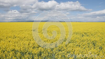Walking by a canola or rape field on bright sunshine stock video