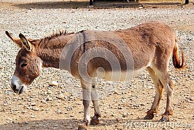 Walking donkey