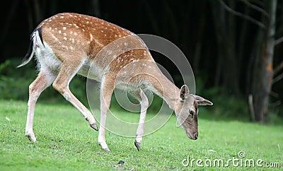 Walking Fallow Deer
