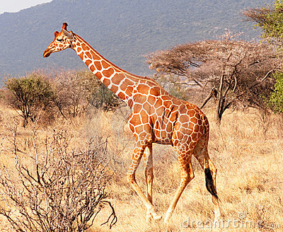 Walking giraffe
