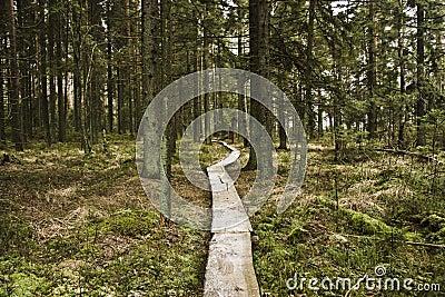 Walking lane of boards in forest