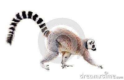 Walking lemur