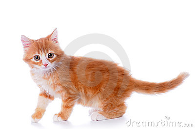 Walking little kitten isolated on white