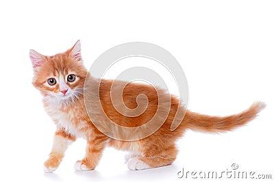 Walking little kitten isolated on white