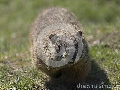 Walking marmot