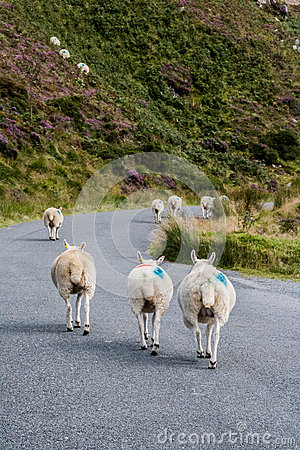 Walking sheep