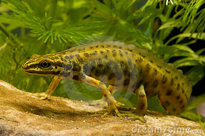 Walking smooth newt