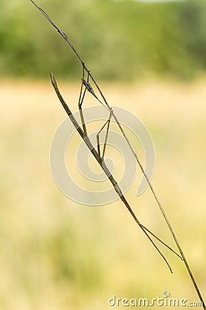 Free Walking Stick, Diapheromera Femorata, Phasmatodea Royalty Free Stock Photos - 25351628