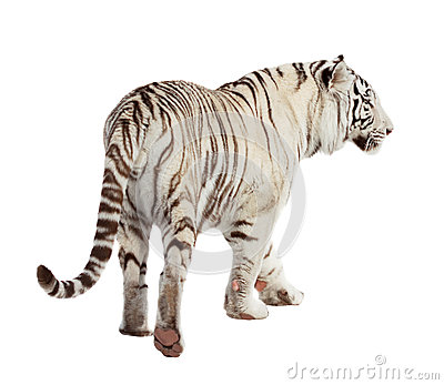 Walking tiger. Isolated  over white