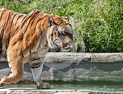 Walking tiger (Panthera Tigris)