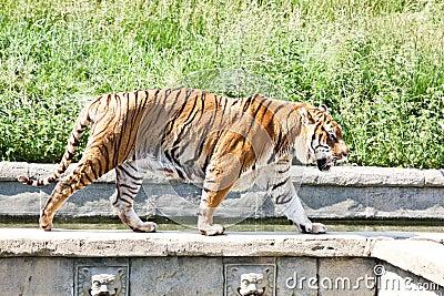 Walking tiger (Panthera Tigris)