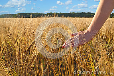 Walking in wheat field
