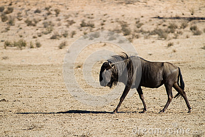 Walking wildebeest