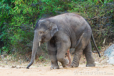 Walking young elephant