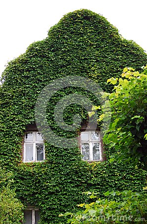 Wall covered by green plants except windows