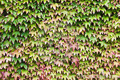 Wall covered in green and red ivy