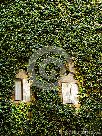 Wall covered in ivy
