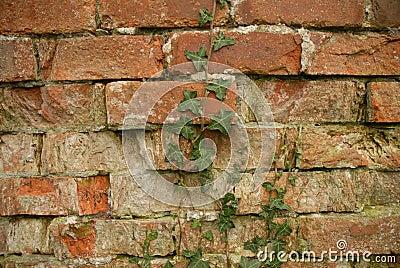 Wall Ivy