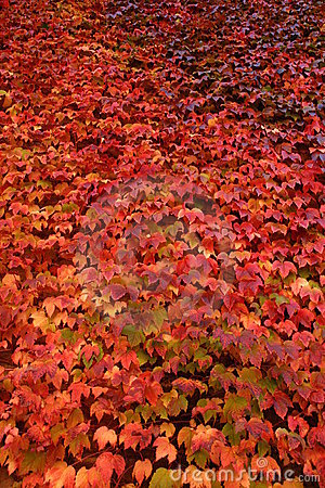 Wall of red ivy in autumn