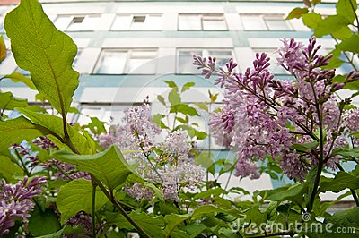 A wall with windows over buhch of lilac