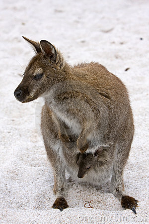 Wallaby on the Beach