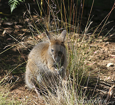 Wallaby Joey, Australia