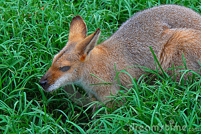 Wallaby-  Profile of a Whiptail  Wallaby