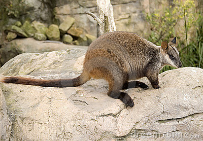 Wallaby on Rock