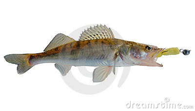 Walleye caught on spinning bait, clipping path