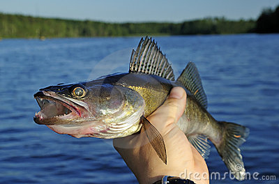 Walleye in hand