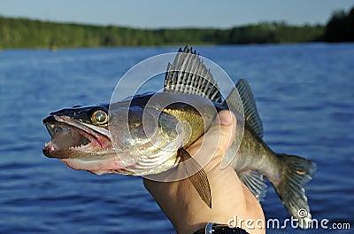 Walleye in hand