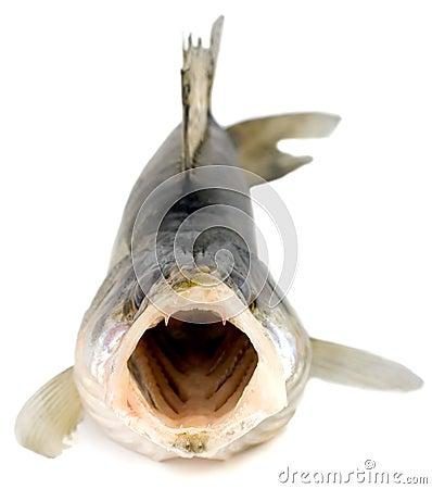 Walleye zander fish (pikeperch)