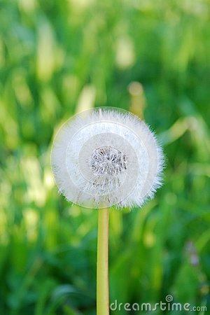 Free Wallpaper-dandelion/ Taraxacum Royalty Free Stock Photography - 103206737