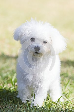 Free Wallpaper: White Teddy Bear Dog Stock Photo - 104486410