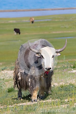 Free Wallpaper: Yak Stock Image - 104486601