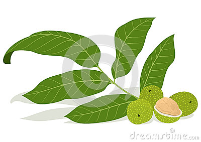 Walnut leaves with unripe nuts