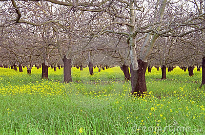Walnut Orchard in Early Spring
