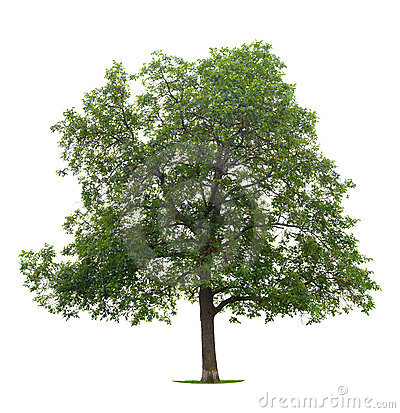Free Walnut Tree Royalty Free Stock Photography - 10138007