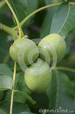 Free Walnut Tree Royalty Free Stock Photo - 926625