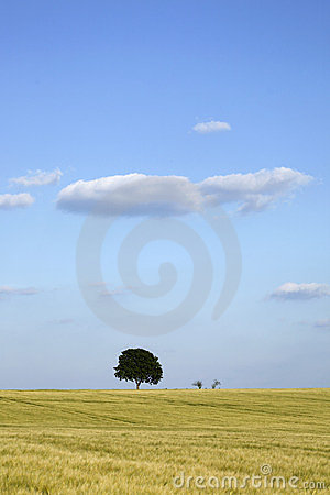 Walnut tree in a field of wheat