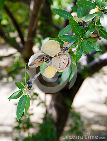 Free Walnuts Nuts Tree Farm Agriculture Food Production Orchard California Stock Image - 51349661