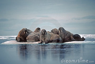 Walrus in Canadian Arctic