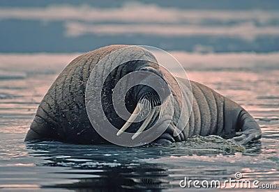 Walrus in Canadian Arctic