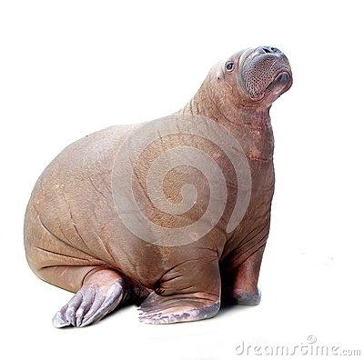 Free Walrus Isolated On White Background Royalty Free Stock Photography - 33134547