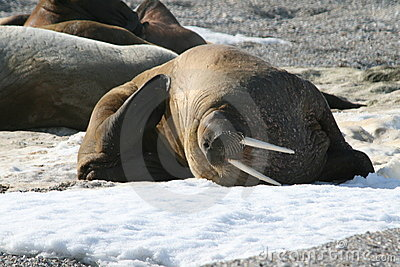Walrus scratch himself on ice