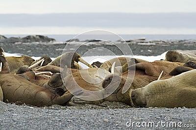 Walruses спать