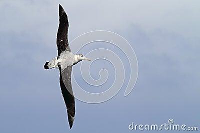 Wandering albatross gliding over the Drake Passage