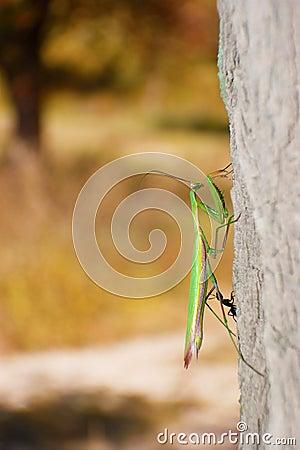 War ants and mantis