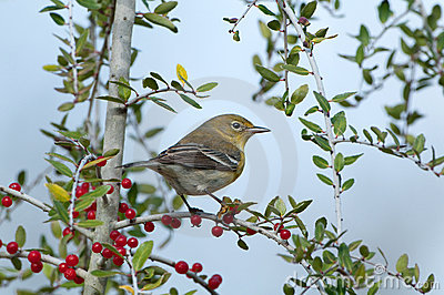 Warbler in Yaupon Holly